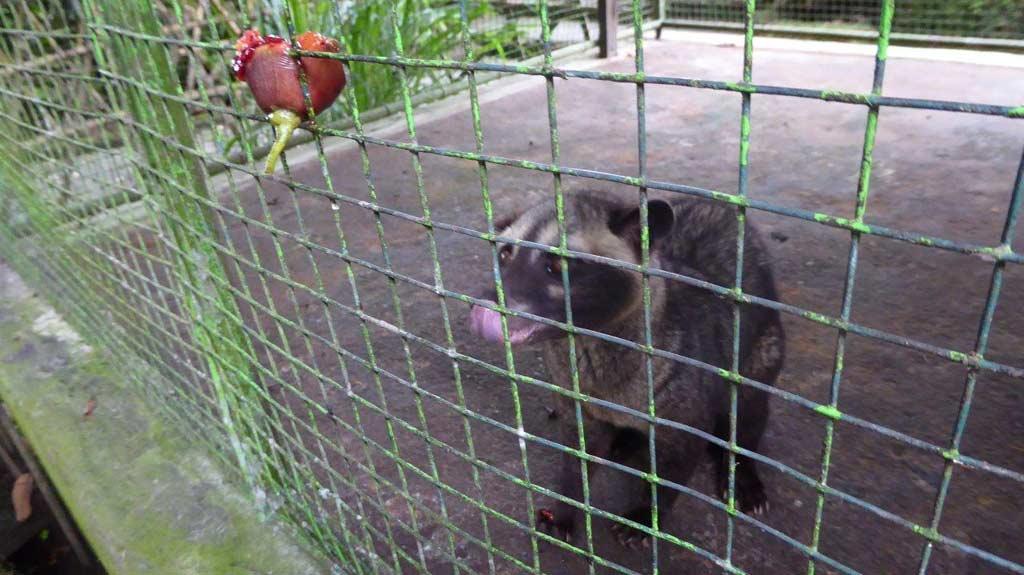 Luwak z którego odchodów jest produkowana kawa Kopi Luwak